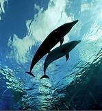 deux dauphins nagent ensemble