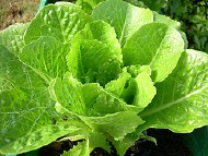 Image: 'Butter lettuce'  http://www.flickr.com/photos/41664681@N00/540296994 Found on flickrcc.net